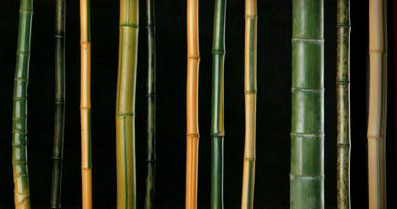 Various species of Phyllostachys